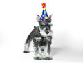 Birthday hat wearing miniature schnauzer puppy dog on white celebrating baby Stock Images
