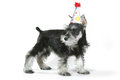 Birthday hat wearing miniature schnauzer puppy dog on white celebrating baby Stock Photo