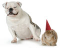 Birthday pets bulldog laughing at bunny wearing hat isolated on white background Royalty Free Stock Images