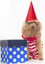 Birthday treat a poodle in a red and white striped jumper wearing a red hat next to a gift box with polka dots Stock Image