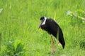 Bishop stork Royalty Free Stock Photo