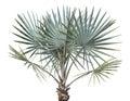 Bismarck Palm Tree