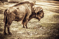 Bison alone standing old vintage photo look Royalty Free Stock Image