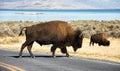 Bison , Antelope Island