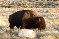 Bison bison bison an adult or buffalo grazes on antelope island in warm evening light Stock Photos