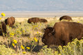 Bison bison bison a herd of or buffalo graze in a flowery field in antelope island state park in utah Stock Image