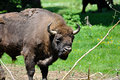 Bison bonasus Royalty Free Stock Photos