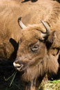Bison bonasus, Wisent, European bison Stock Photos