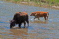 Bison Buffalo Cow crossing river with Calf in Yellowstone National Park