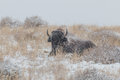 Bison bull bedded in snowstorm a a Stock Image