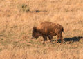 Bison bull a walking across the grasslands Royalty Free Stock Images