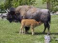 Bison Calf Nursing Royalty Free Stock Photo