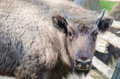 Bison closeup a from hateg reservation romania Royalty Free Stock Images