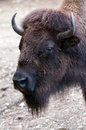 Bison a closeup of the head of a Royalty Free Stock Image