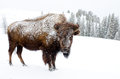 Bison covered in snow yellowstone national park usa Stock Photo