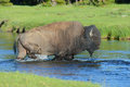 A bison crosses a clear stream large wades water crossing Stock Photos