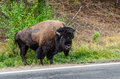 Bison on the Edge of the Road Royalty Free Stock Photos