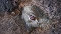 Bison eye Royalty Free Stock Photo