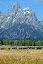 Bison in the grand tetons Royalty Free Stock Images