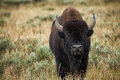 Bison in grasslands of Yellowstone National Park in Wyoming Royalty Free Stock Photo
