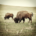 Bison grazing old photo processed to look like an th century image of the Royalty Free Stock Photos