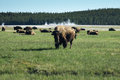 Bison grazing in yellowstone summer at thermals Royalty Free Stock Photos