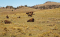 Bison Herd. Buffalo.Bison's family. Yellowstone national park as background Royalty Free Stock Photo