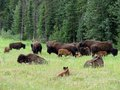 Bison herd a of cow and calf in northern british columbia Royalty Free Stock Photo