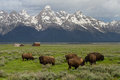 Bison herd homestead barns and wyoming mountains Royalty Free Stock Photo