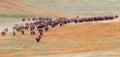 Bison Herd Royalty Free Stock Photo