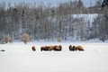 Bison herd in the Snow, Grand Teton National Park Stock Photos