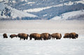 Bison herd in the Snow, Grand Teton National Park Royalty Free Stock Photos