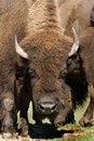Bison II Stock Images