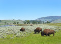 Bison Lamar Valley Yellowstone Royalty Free Stock Photo