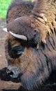 Bison Royalty Free Stock Photo