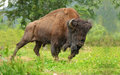 Bison large male of in the forest Stock Photos