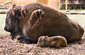 Bison with a little calf Royalty Free Stock Photo