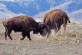 Bison mixing it up this image of the two young locking horns was taken at the national range in northwest montana Stock Photos