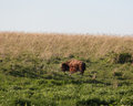 Bison mother with calf Royalty Free Stock Photo