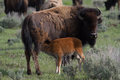 Bison mother and calf nursing Royalty Free Stock Photo