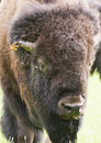 Bison portrait a huge male american Royalty Free Stock Image