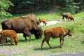 Bison on the range grazing edge of forest Royalty Free Stock Photography
