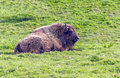 Bison resting in the grass the picture is taken in santillana de la mar north of spain Royalty Free Stock Photos