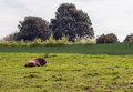 Bison resting in the grass the picture is taken in santillana de la mar north of spain Stock Image