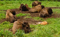 Bison resting nature natural lighting Stock Photography