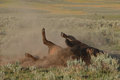 Bison rolling during rut an american around on the ground the autumn Royalty Free Stock Images