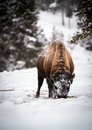 Bison in the Snow, Yellowstone Royalty Free Stock Photography