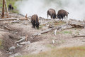 Bison spa day disown or buffalo heard near a steam vent in yellowstone with sulfur and other minerals flowing in the air Stock Photography