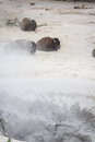 Bison spa day disown or buffalo heard near a steam vent in yellowstone with sulfur and other minerals flowing in the air Stock Image