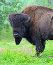 Bison in their natural habitat Stock Image